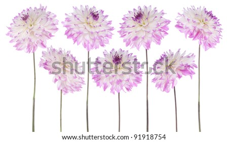 Studio Shot of Fuchsia Colored Dahlia Flowers Isolated on White Background. Large Depth of Field (DOF). Macro. Symbol of Elegance, Dignity and Good Taste.