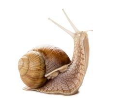 Studio shot of garden snail isolated on white