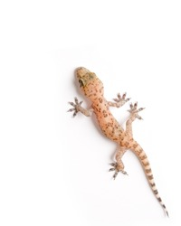 Studio shot of gecko isolated on white