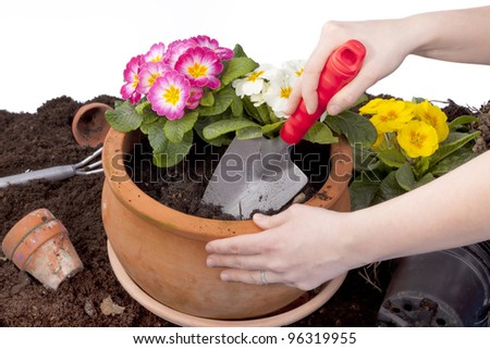 studio-shot of hands planting flowers in a terracotta flowerpot, isolated on white.