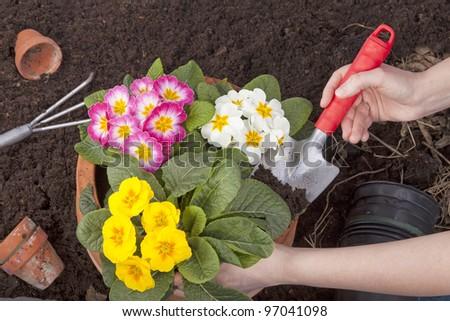 studio-shot of hands plating spring flowers in a terracotta flowerpot.