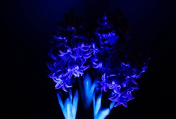 Studio shot of isolated purple flower blossoms illuminated by artificial blue light, black background, hyacinth, hyacinthus orientalis (focus on blossoms left)
