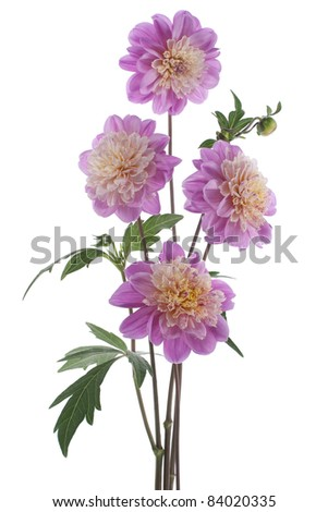 Studio Shot of Lilac Colored Dahlias Isolated on White Background. Large Depth of Field (DOF). Macro. Symbol of Elegance, Dignity and Good Taste.
