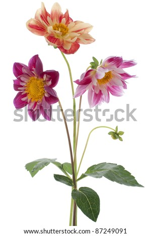 Studio Shot of Magenta and Red Colored Dahlia Flowers Isolated on White Background. Large Depth of Field (DOF). Macro. Symbol of Elegance, Dignity and Good Taste.