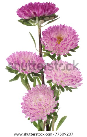 Studio Shot of  Magenta and White Colored China Aster Isolated on White Background. Large Depth of Field (DOF). Macro. Symbol of Jealosy.