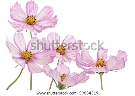 Studio Shot of Magenta and White Colored Cosmos Flowers Isolated on White Background. Large Depth of Field (DOF).