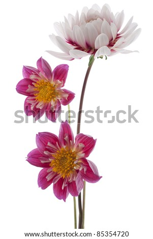 Studio Shot of Magenta and White Colored Dahlias Isolated on White Background. Large Depth of Field (DOF). Symbol of Elegance, Dignity and Good Taste.