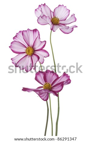 Studio Shot of  Magenta Colored Cosmos Flowers Isolated on White Background. Large Depth of Field (DOF). Macro.
