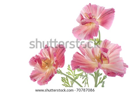 Studio Shot of Magenta Colored Eschscholzia Isolated on White Background. Large Depth of Field (DOF). Macro. The State Flower of California.