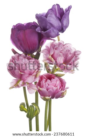 Studio Shot of  Multicolored Tulip Flowers Isolated on White Background. Large Depth of Field (DOF). Macro. National Flower of The Netherlands, Turkey and Hungary.
