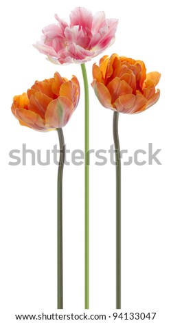 Studio Shot of Orange and Pink Colored Tulip Flowers  Isolated on White Background. Large Depth of Field (DOF). Macro. National Flower of The Netherlands, Turkey and Hungary.