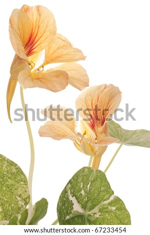 Studio Shot of Orange and Yellow Colored Nasturtium Isolated on White Background. Large Depth of Field (DOF). Macro. Symbol of Patriotism and Conquest.