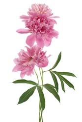 Studio Shot of Pink and Lilac Colored Peony Flowers Isolated on White Background. Large Depth of Field (DOF). Macro.