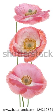 Studio Shot of Pink and Orange Colored Poppy Flowers Isolated on White Background. Large Depth of Field (DOF). Macro. Symbol of Sleep, Oblivion and Imagination.