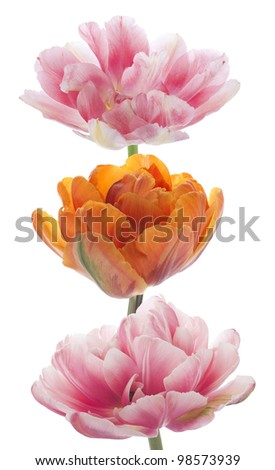Studio Shot of Pink and Orange Colored Tulip Flowers Isolated on White Background. Large Depth of Field (DOF). Macro. National Flower of The Netherlands, Turkey and Hungary.