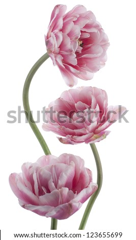 Studio Shot of Pink and White Colored Tulip Flowers Isolated on White Background Large Depth of Field DOF Macro National Flower of The Netherlands Turkey and Hungary