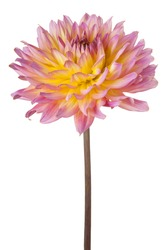 Studio Shot of Pink and Yellow Colored Dahlia Flower Isolated on White Background. Large Depth of Field (DOF). Macro.