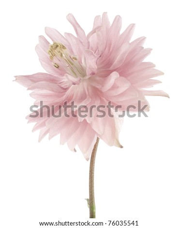 Studio Shot of  Pink Colored Columbine Isolated on White Background. Large Depth of Field (DOF). Macro.