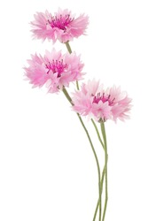 Studio Shot of Pink Colored Cornflowers Isolated on White Background. Large Depth of Field (DOF). Macro.