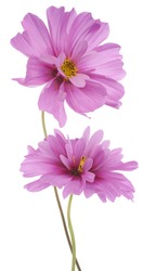 Studio Shot of Pink Colored Cosmos Flowers Isolated on White Background. Large Depth of Field (DOF). Macro.