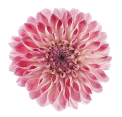 Studio Shot of Pink Colored Dahlia Flower Isolated on White Background. Large Depth of Field (DOF). Macro. Symbol of Elegance, Dignity and Good Taste.