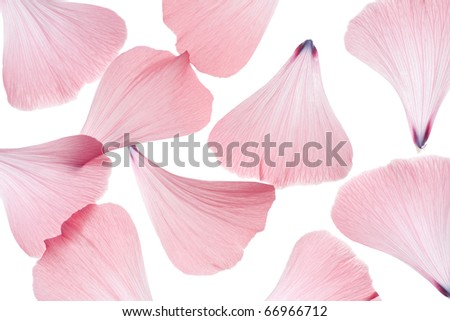 Studio Shot of Pink Colored Mallow Petals Isolated on White Background. Macro.
