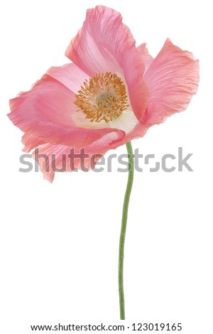 Studio Shot of Pink Colored Poppy Isolated on White Background. Large Depth of Field (DOF). Macro. Symbol of Sleep, Oblivion and Imagination.