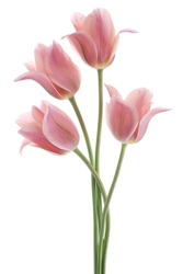 Studio Shot of Pink Colored Tulip Flowers Isolated on White Background. Large Depth of Field (DOF). Macro. National Flower of The Netherlands, Turkey and Hungary.