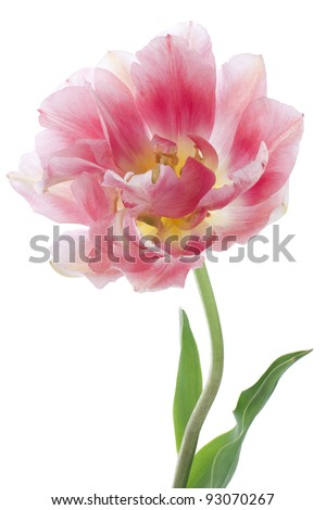 Studio Shot of Pink Colored Tulip Isolated on White Background. Large Depth of Field (DOF). Macro. National Flower of The Netherlands, Turkey and Hungary.