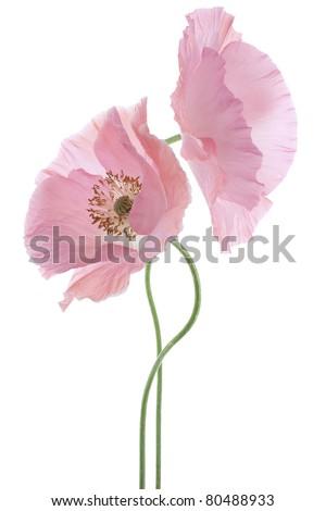 Studio Shot of Pink Poppy Isolated on White Background. Large Depth of Field (DOF). Macro. Symbol of Sleep, Oblivion and Imagination.