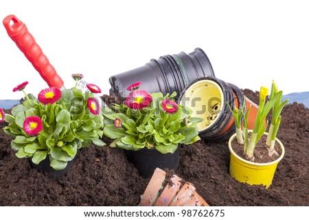 studio-shot of planting  flowers into flower soil, isolated on white. gardening scene with a garden shovel, terracotta flowerpots, daisy flowers ( bellis perennis ) and narcissus flower bulb.