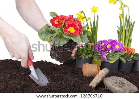 Studio shot of planting primroses in flower soil, flowerbed with primroses, daffodils, bellis perennis ( daisies) and a terracotta flowerpot.