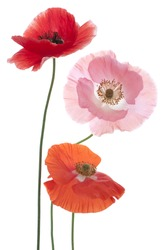 Studio Shot of Poppy Flowers Isolated on White Background. Large Depth of Field (DOF). Macro. Symbol of Sleep, Oblivion and Imagination.