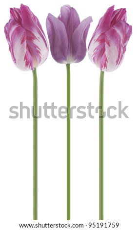 Studio Shot of Purple and Magenta Colored Tulip Flowers Isolated on White Background. Large Depth of Field (DOF). Macro. National Flower of The Netherlands, Turkey and Hungary.