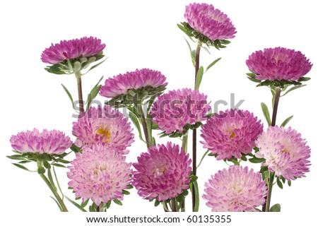 Studio Shot of Purple and White Colored China Aster Isolated on White Background. Large Depth of Field (DOF).