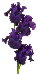 Studio Shot of Purple Colored Iris Flowers Isolated on White Background. Large Depth of Field (DOF). Macro. Close-up.