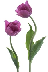 Studio Shot of Purple Colored Tulip Flowers Isolated on White Background. Large Depth of Field (DOF). Macro. National Flower of The Netherlands, Turkey and Hungary.
