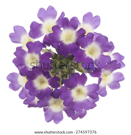 Stock Photo Studio Shot of Purple Colored Vervain Flowers Isolated on White Background. Large Depth of Field (DOF). Macro.
