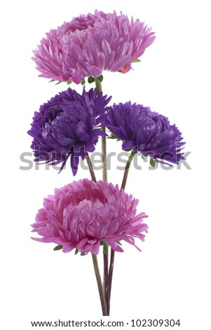 Studio Shot of Red and Blue Colored China Aster  Flowers Isolated on White Background. Large Depth of Field (DOF). Macro. Symbol of Jealousy.