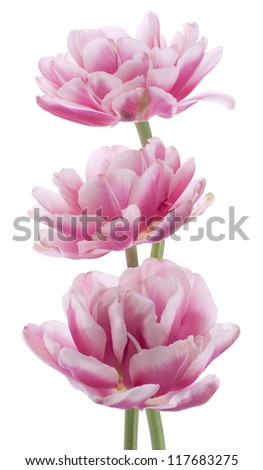 Studio Shot of Red and White Colored Tulip Flowers Isolated on White Background. Large Depth of Field (DOF). Macro. National Flower of The Netherlands, Turkey and Hungary.