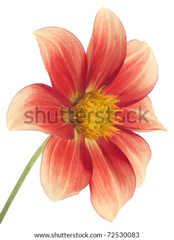 Studio Shot of Red and Yellow Colored Dahlia Isolated on White Background. Large Depth of Field (DOF). Macro. Symbol of Elegance, Dignity and Good Taste.