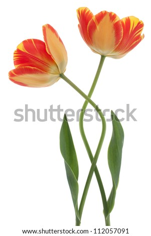 Studio Shot of Red and Yellow Colored Tulip Flowers Isolated on White Background. Large Depth of Field (DOF). Macro. National Flower of The Netherlands, Turkey and Hungary.