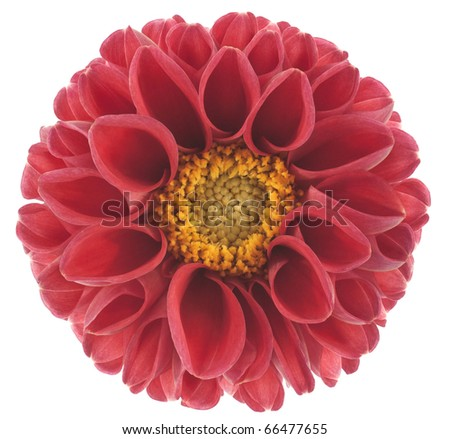 Studio Shot of Red Colored Dahlia Isolated on White Background. Large Depth of Field (DOF). Macro. Symbol of Elegance, Dignity and Good Taste. - stock photo