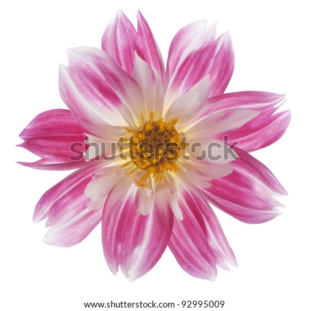 Studio Shot of Red Colored Dahlia Isolated on White Background. Large Depth of Field (DOF). Macro. Symbol of Elegance, Dignity and Good Taste.