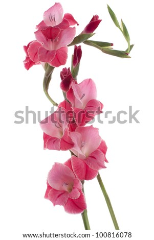 Studio Shot of Red Colored Gladiolus Flowers Isolated on White Background. Large Depth of Field (DOF). Macro. Symbol of Reminisce, Love and Precision.