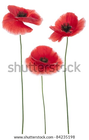 Studio Shot of Red Colored Poppies  Isolated on White Background. Large Depth of Field (DOF). Macro. National Flower of Beldium and Poland.