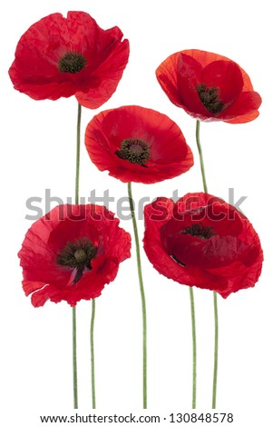 Studio Shot of Red Colored Poppy Flowers Isolated on White Background. Large Depth of Field (DOF). Macro. Symbol of Sleep, Oblivion and Imagination.