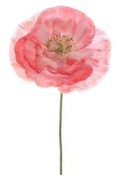 Studio Shot of Red Colored Poppy Isolated on White Background. Large Depth of Field (DOF). Macro. Symbol of Sleep, Oblivion and Imagination.