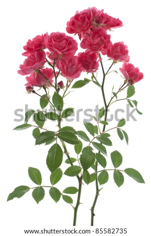 Studio Shot of Red Colored Rose Isolated on White Background. Large Depth of Field (DOF). National Flower of Bulgaria, Ecuador, Luxembourg, Cyprus, Slovakia and Czech Republic.