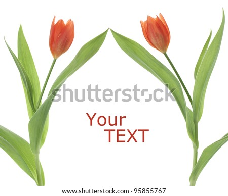 Studio Shot of Red Colored Tulip Flowers Isolated on White Background. Large Depth of Field (DOF). Macro. National Flower of The Netherlands, Turkey and Hungary.